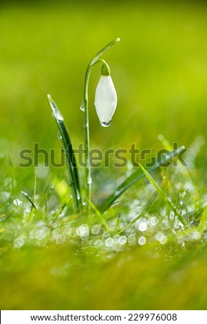 sparkly snowdrop flower, very soft tiny focus, perfect for spring gift card - stock photo