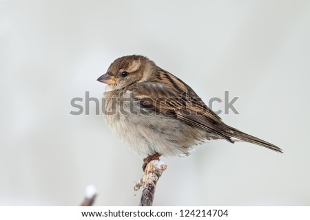 Sparrow. - stock photo