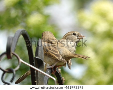 Sparrow being fed