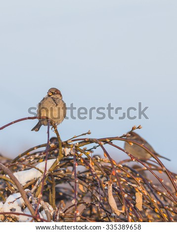Sparrow bird on the twig in winter