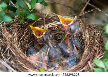 Sparrow chicks waiting to be fed - stock photo