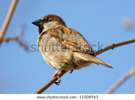 Sparrow close up on a branch in sunny day