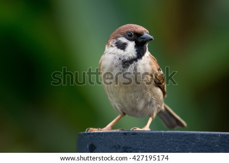 Sparrow close up posing. Sparrow close to the blurred background of nature. - stock photo