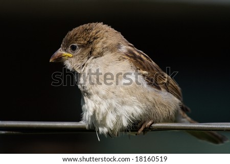 Sparrow fledgeling sitting on strained steel wire - stock photo