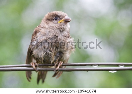 Sparrow fledgeling sitting under rain on strained steel wire - stock photo