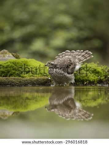 sparrow hawk  - stock photo