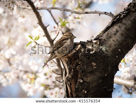 Sparrow in Cherry Tree - stock photo