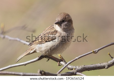 sparrow on a branch close up in spring - stock photo