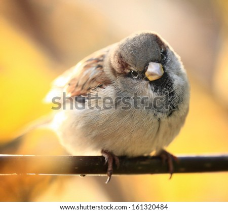 sparrow on a branch of the autumn - stock photo