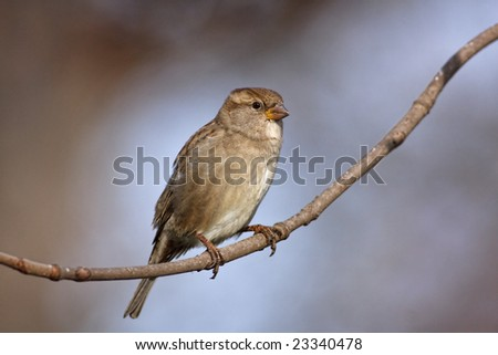 Sparrow on a tree branch.