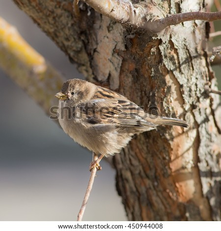 sparrow on a tree branch close up - stock photo