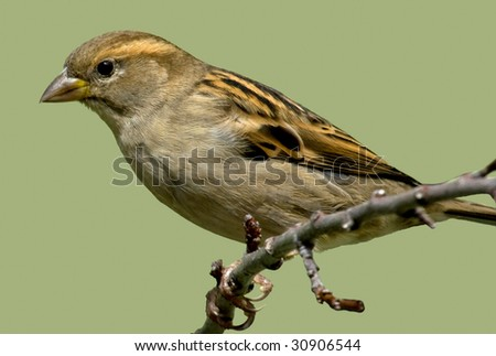 Sparrow on branch - stock photo