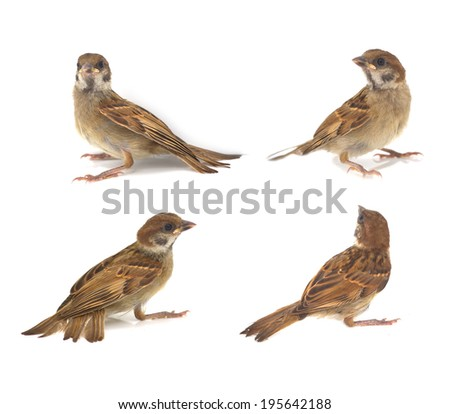 Sparrow on branch, isolated on white background.  - stock photo