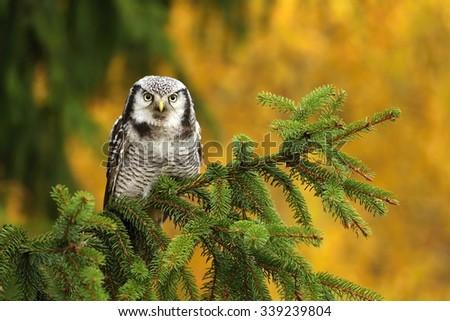 Sparrow owl on spruce - stock photo