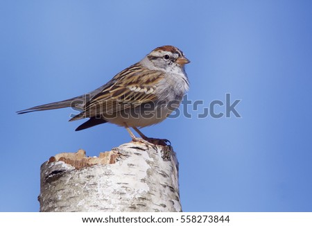 Sparrow perched atop a birch bark log with a clear blue sky in the background, Chipping Sparrow, scientific name Spizella passerina