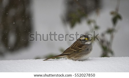 Sparrow perched on snow covered wall as snow falls.