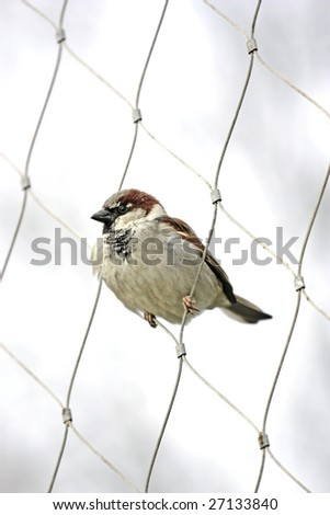 Sparrow perfectly perched inside a wired fence - stock photo