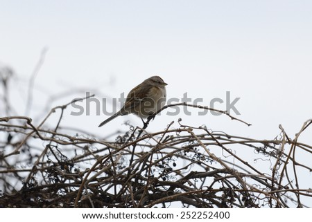 Sparrow sits on branch in winter  - stock photo