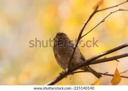 sparrow sitting on a branch of an autumn tree