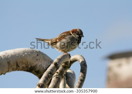 Sparrow Sitting on a Tree Branch Against a Blue Sky