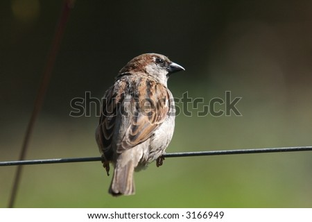 sparrow sitting on a wire