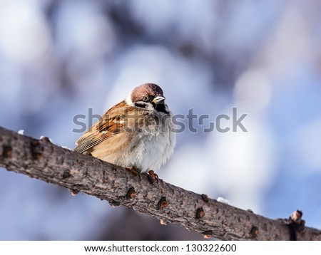 Sparrow sitting on winter branch
