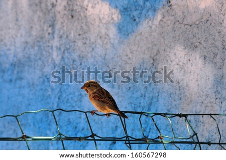 Sparrow small passerine bird sitting on fence. Animal background. - stock photo