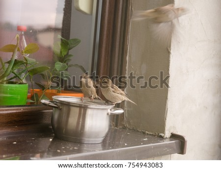 Sparrows Eat Up The Remains From Pot On The Windowsill Outside The House.
