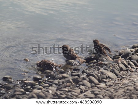 Sparrows on a Sunny day taking a bath