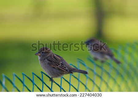 Sparrows on wire fence - stock photo