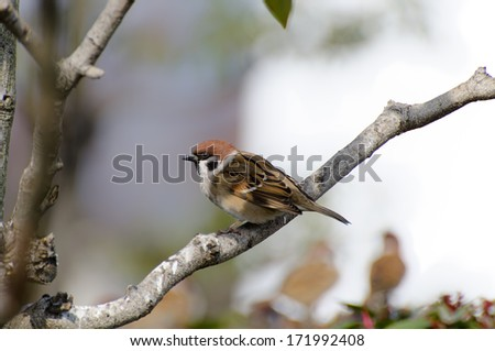 Sparrows sit on a branch. (A sunny day in winter)