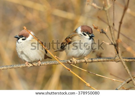 Sparrows sitting on a branch. The Eurasian tree sparrow (Passer montanus) is a passerine bird in the sparrow family with a rich chestnut crown and nape, and a black patch on each pure white cheek. - stock photo