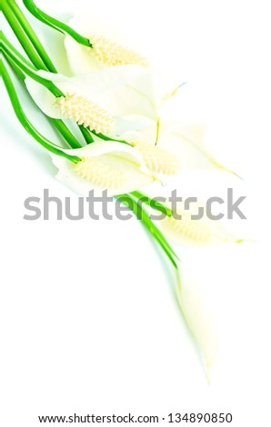 Spathiphyllum flower isolated on a white background