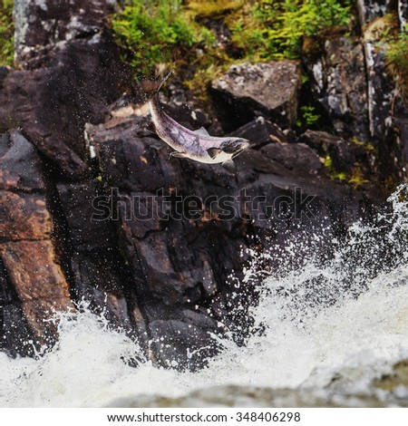 Spawning salmon fish jumping from the river - stock photo