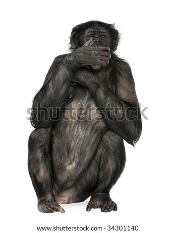 speak no evil monkey (Mixed-Breed between Chimpanzee and Bonobo) (20 years old) in front of a white background
