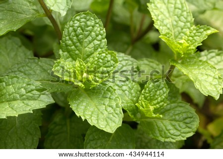 Spearmint leaves growing in the garden (Mentha spicata) - stock photo