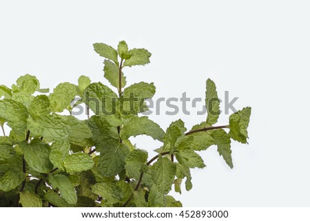Spearmint (mint / Mentha spicata) or Pudina - stock photo