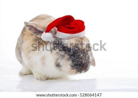 Special orange black pattern rabbit with christmas hat. Cute bunny lop wear santa claus hat to illustrate christmas holiday in studio white background. Merry christmas!