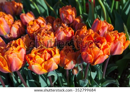 Specialty orange double petal tulip flowers in the morning sunshine on a tulip farm in Oregon.