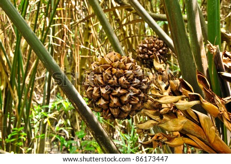 Species fruit in the mangrove forest. - stock photo