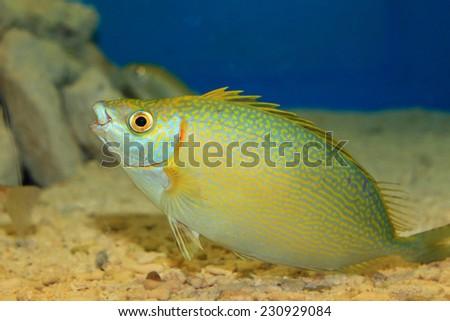 species of rabbitfish (Siganus woodlandi) in Japan - stock photo