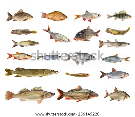 species of river fish on white background    - stock photo