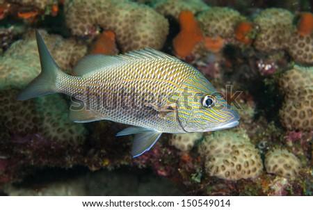 Species of the grunt family of fish, atlantic ocean. - stock photo