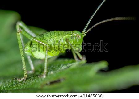 Speckled bush-cricket (Leptophyes punctatissima) nymph - stock photo