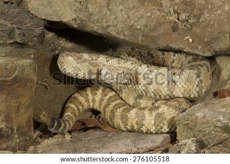 Speckled Rattlesnake - stock photo