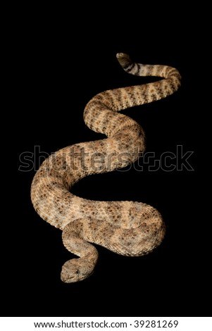Speckled Rattlesnake (Crotalus mitchellii) isolated on black background.