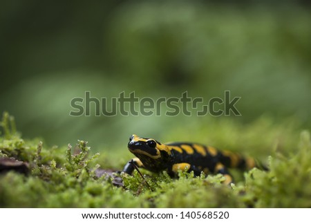 Speckled salamander  Amphibia specie  Salamandra salamandra - stock photo