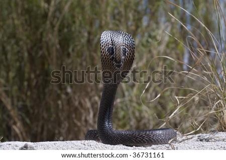 Spectacle Cobra - stock photo