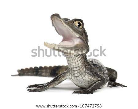 Spectacled Caiman, Caiman crocodilus, also known as a the White Caiman or Common Caiman, 2 months old, against white background - stock photo
