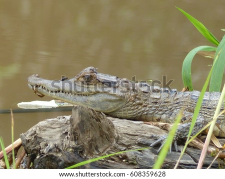 Spectacled caiman (Caiman crocodilus), also known as the white caiman or common caiman. Amazon rainforest, Brazil